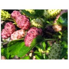 Шелковица крупноплодная Стамбульская розовая