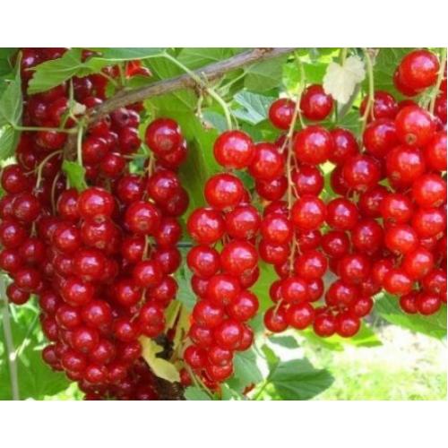 Саженец смородины красной Роднеус