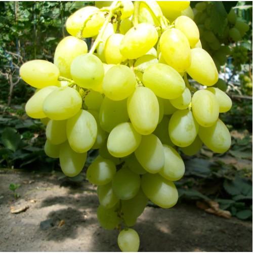 Саженец винограда Ландыш
