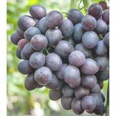 Саженец винограда Аюта