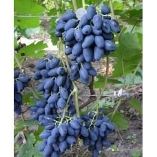 Саженец винограда Атос