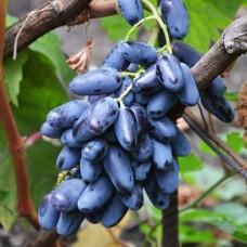 Саженец винограда Байконур