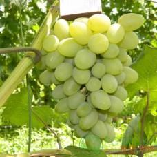 Саженец винограда Галахад