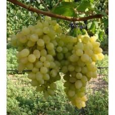 Саженец винограда Володар
