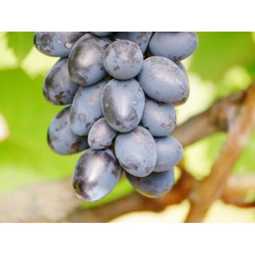 Саженец винограда Лорано