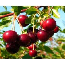 Саженец вишни Эрди Крупноплодная