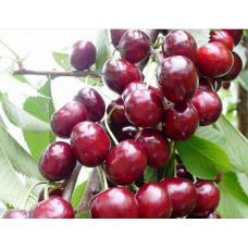 Саженец вишни колоновидной  Ашинский Гибрид